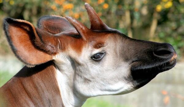 Фото: Окапи животное Африки