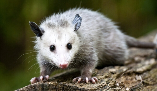 Фото: Опоссум животное