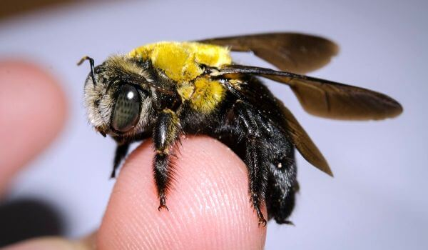 Фото: Пчела плотник