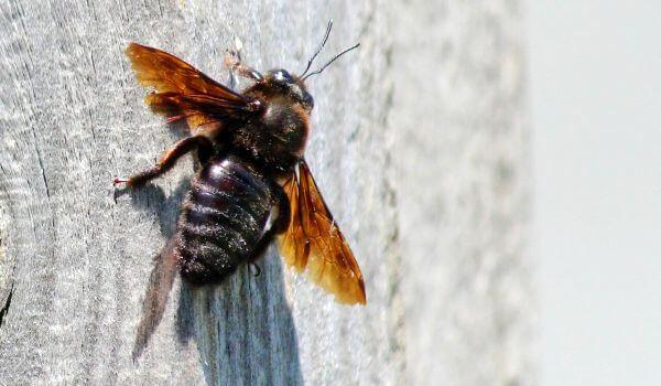 Фото: Пчела плотник из Красной книги