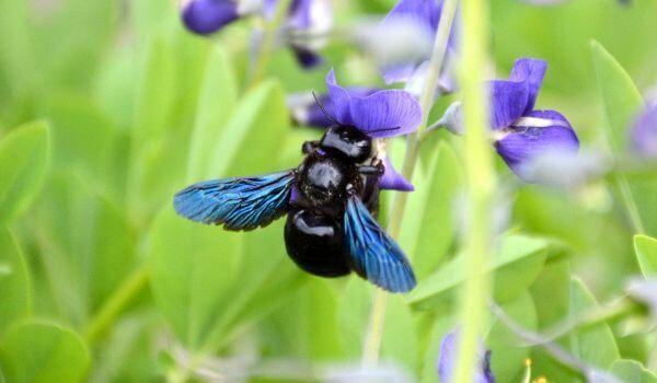 Фото: Насекомое пчела плотник