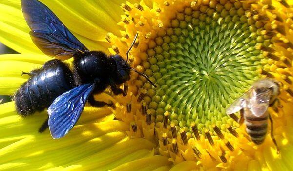 Фото: Пчела-плотник
