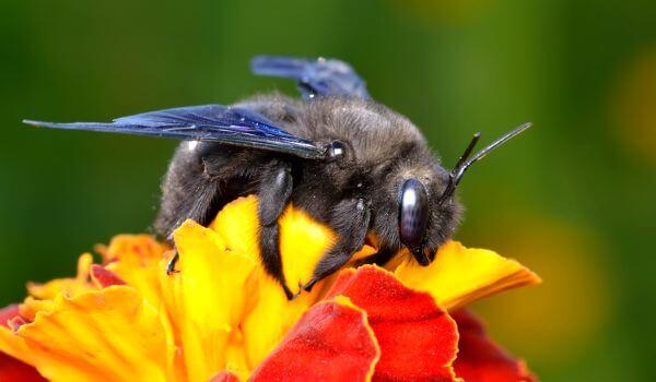 Фото: Пчела плотник Красная книга