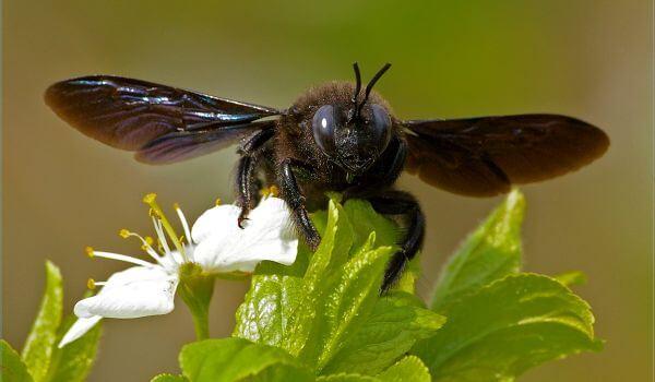 Фото: Обыкновенная пчела плотник