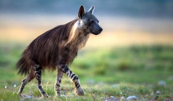Фото: Самка полосатой гиены