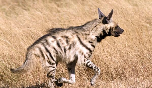 Фото: Полосатая гиена