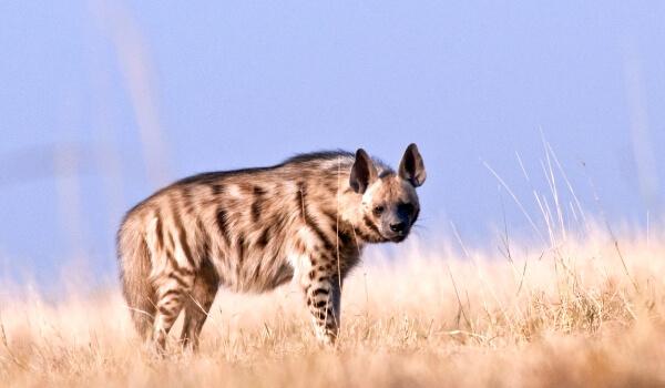 Фото: Полосатая гиена Красная книга