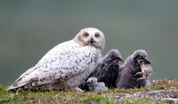 Фото: Птенцы полярной совы