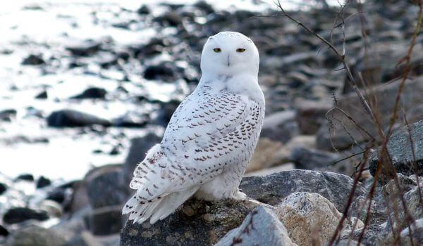 Фото: Большая полярная сова