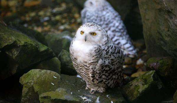 Фото: Птица полярная сова