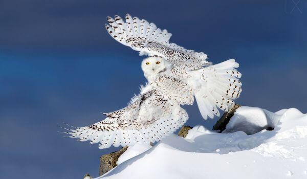 Фото: Белая полярная сова