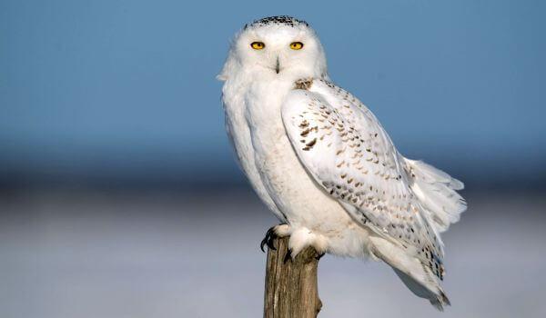 Фото: Полярная сова