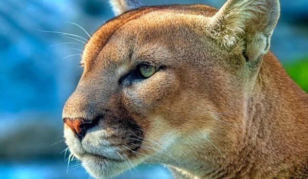 Фото: Кошка пума