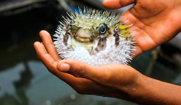 Фото: Японская рыбы фугу