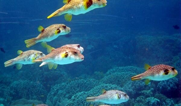 Фото: Рыба фугу