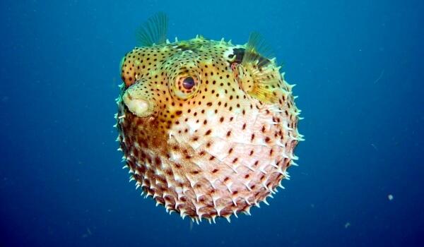 Фото: Рыба фугу ядовитая