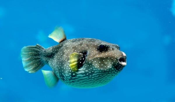 Фото: Рыба фугу Япония