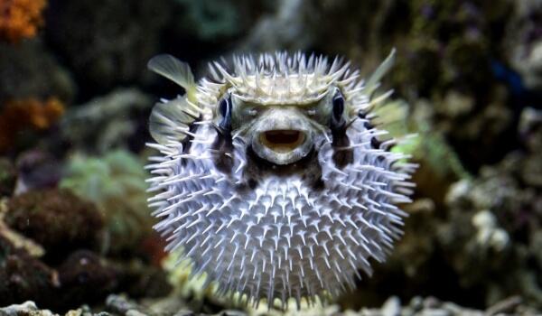 Фото: Ядовитая рыба фугу