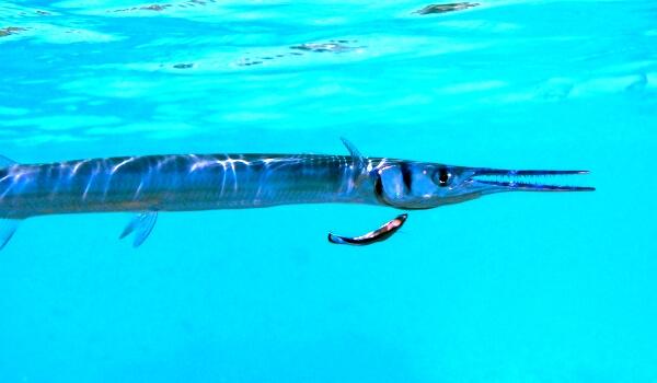 Фото: Черноморская рыба игла