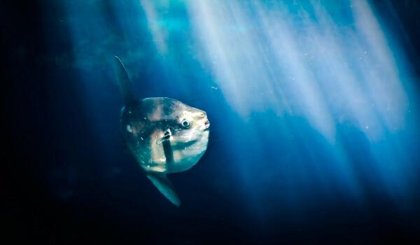 Фото: Луна-рыба