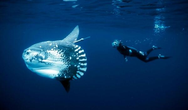 Фото: Морская луна-рыба