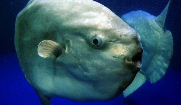 Фото: Гигантская рыба луна
