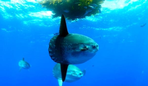 Фото: Рыба луна