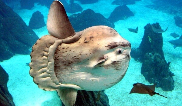 Фото: Большая луна-рыба