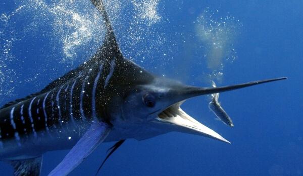 Фото: Рыба меч