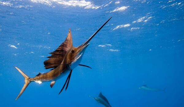 Фото: Морская рыба меч