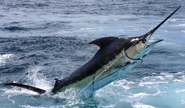 Фото: Рыба меченос