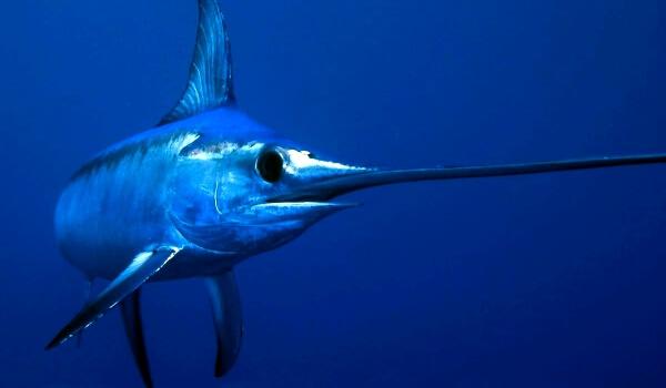 Фото: Меченос рыба меч