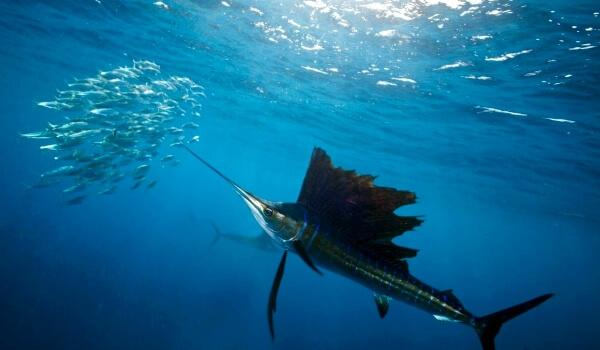 Фото: Красивая рыба-меч