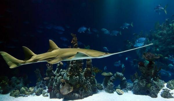 Фото: Рыба пила (пилорылый скат)