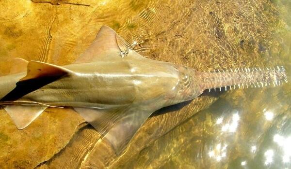 Фото: Рыба пила из Красной книги