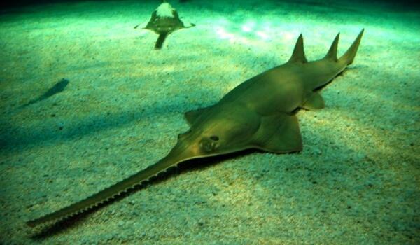 Фото: Большая рыба пила