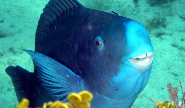 Фото: Голубая рыба попугай