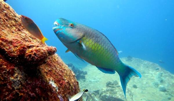 Фото: Морская рыба попугай