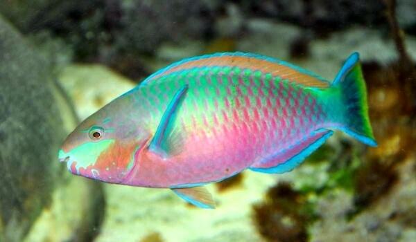 Фото: Рыба попугай самец