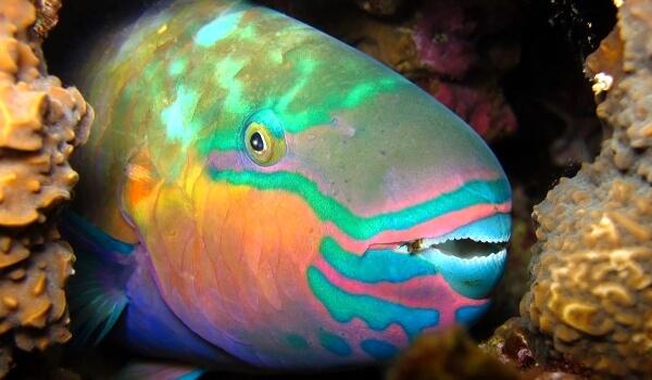 Фото: Рыба попугай в море