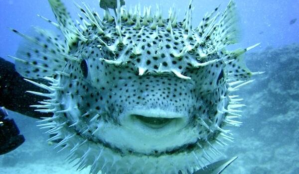 Фото: Рыба шар с колючками