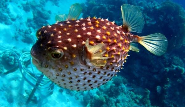 Фото: Колючая рыба шар
