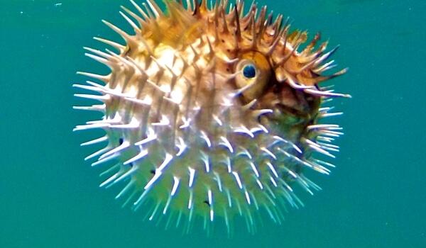 Фото: Морская рыба шар