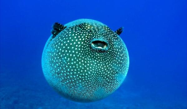 Фото: Рыба шар