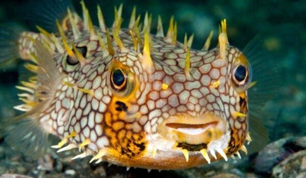 Фото: Ядовитая рыба шар
