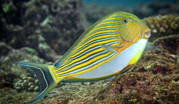 Фото: Желтая рыба хирург