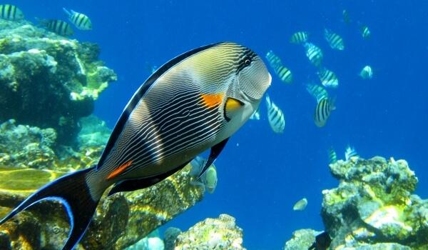 Фото: Морская рыба хирург