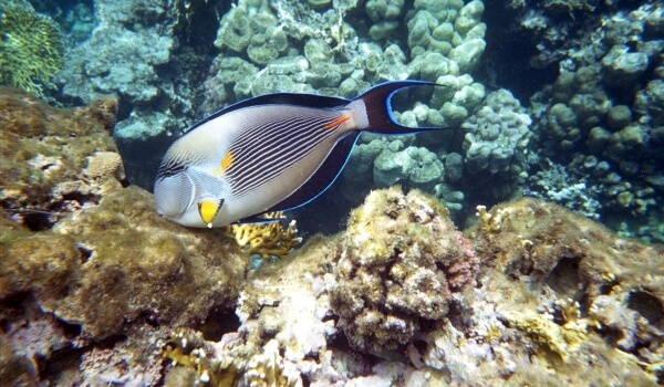 Фото: Рыба хирург Красное море