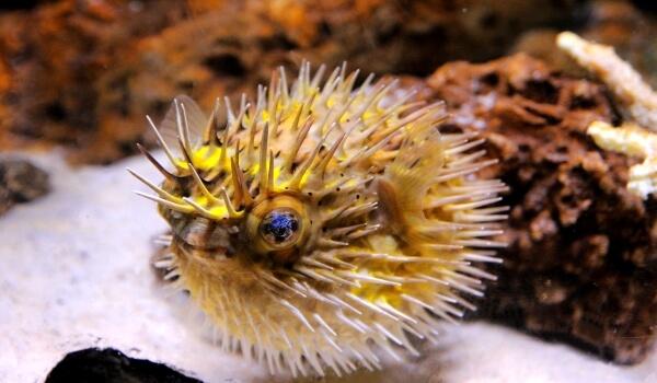 Фото: Рыба морской ёж