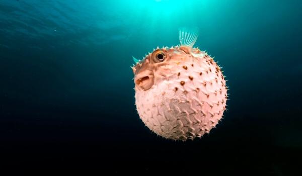 Фото: Рыба ёж в море